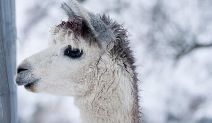 Médecine des camélidés - Service aux animaux de la ferme & équins - Hôpital vétérinaire de Sherbrooke
