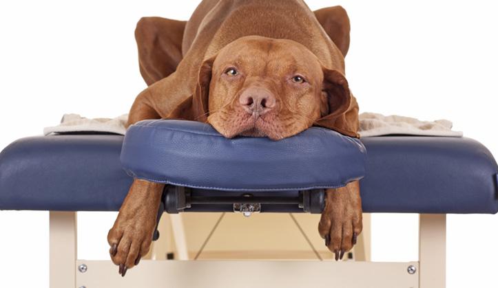 Ostéopathie - Service aux animaux de compagnie - Hôpital vétérinaire de Sherbrooke
