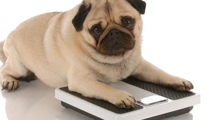 Programme Poids Santé - Service aux animaux de compagnie - Hôpital vétérinaire de Sherbrooke
