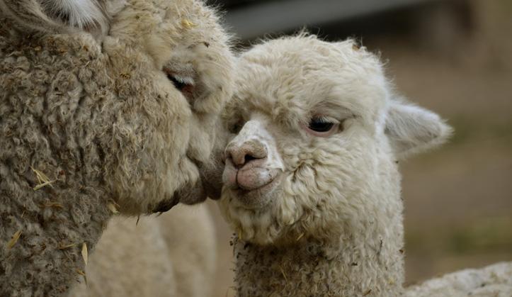 Médecine des Camélidés - Lama et Alpaga - Service aux animaux de la ferme & équins - Hôpital vétérinaire de Sherbrooke