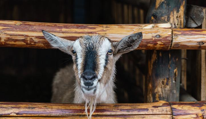 Médecine des petits ruminants - Service aux animaux de la ferme & équins - Hôpital vétérinaire de Sherbrooke